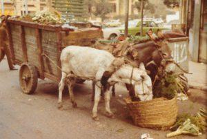 cairo_donkey